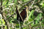 Photo of Mourning Cloak